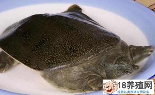 夏季甲鱼养殖的注意事项