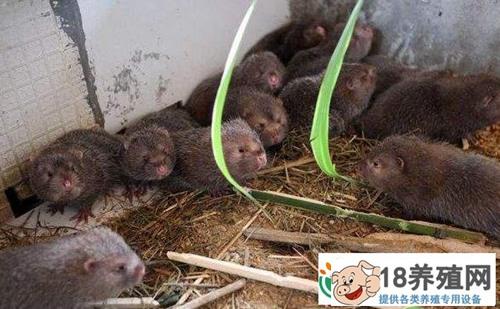 竹鼠好养吗?竹鼠养殖成功案例