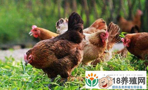 养羊+蚯蚓+养鸡 清华硕士景奇年赚百万