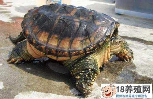 鳄鱼温室养殖效益及养殖条件