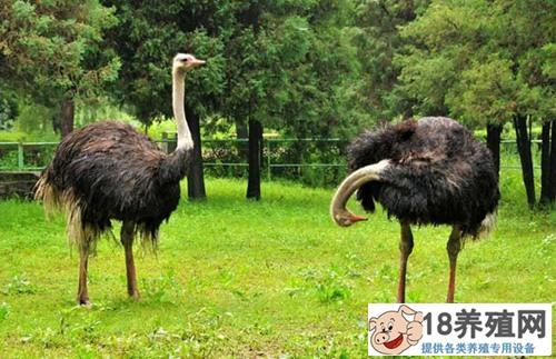 鸵鸟养殖方法(2)