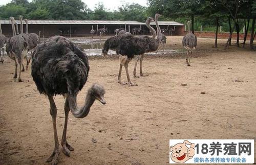 鸵鸟养殖方法