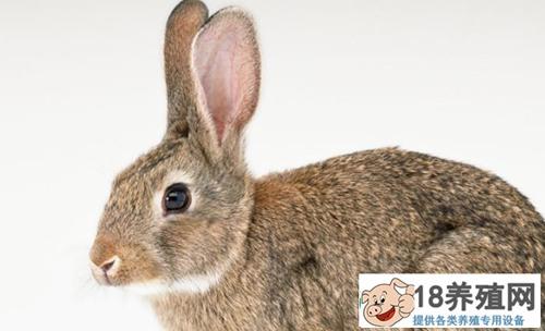 养殖兔子消化不良的症状,表现在那些地方?