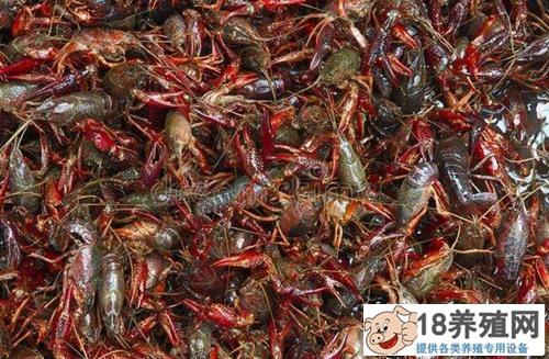 5-6月小龙虾集中上市价格下降,虾农如何保收益?