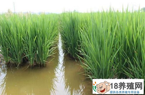 种植一亩稻田能赚四万元!你相信吗?