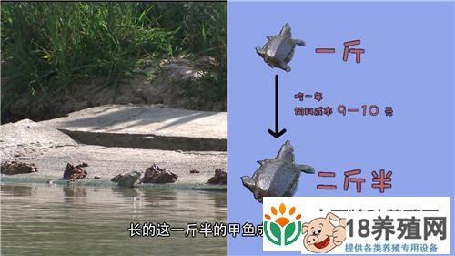 江苏丹阳吴国志用牛肉养甲鱼与众不同(2)