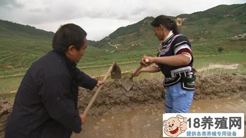 哈尼梯田养泥鳅 稻鳅共作效益好(2)