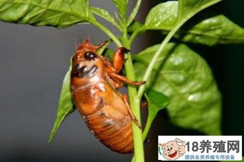 果园如何养殖金蝉?