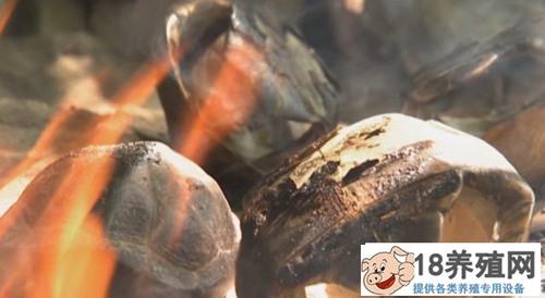 苏卡达陆龟嚼鱼骨吃臭果 奇招养陆龟