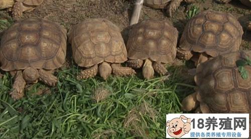 苏卡达陆龟嚼鱼骨吃臭果 奇招养陆龟(2)