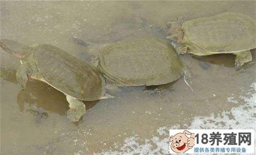 外塘甲鱼养殖苗种放养流程注意事项(2)