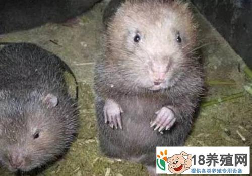 怎么辨别竹鼠是否怀孕