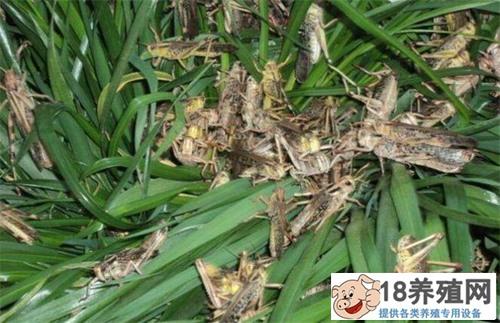 蚂蚱卵的保护及繁殖能力