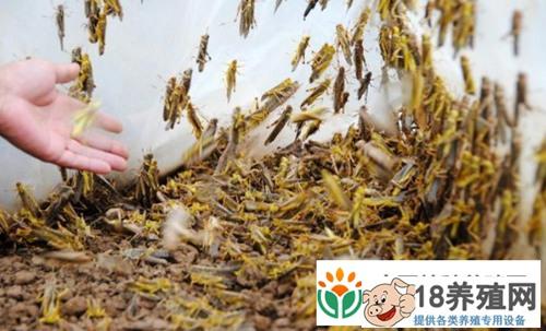 蚂蚱卵的保护及繁殖能力(2)