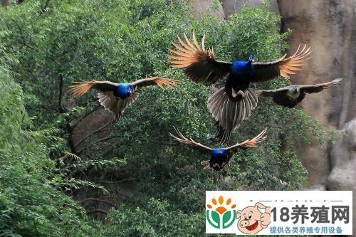 孔雀饲养管理技术(2)