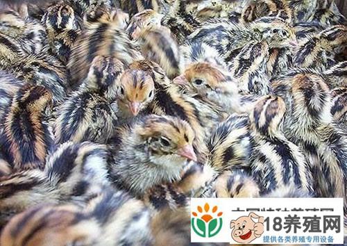 鹌鹑饲养繁殖技术(2)