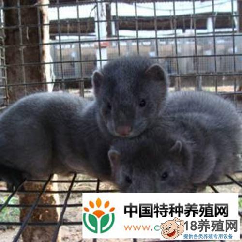 水貂养殖主要的营养需要(3)