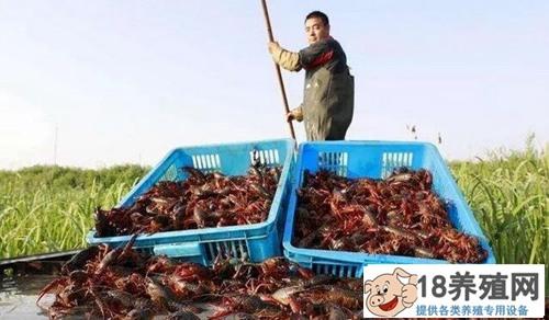 新手养虾如何才能避免亏本?剖析小龙虾养殖赚钱的奥秘
