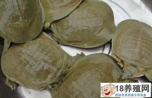 甲鱼养殖过程中的病害预防与监控
