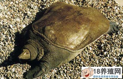甲鱼养殖过程中的病害预防与监控(2)