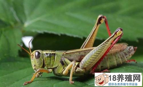 蚂蚱的养殖方法(4)