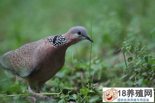 珠颈斑鸠是保护动物吗?生活繁殖习性介绍