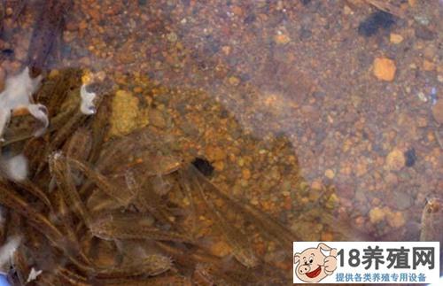 泥鳅生态养殖技术