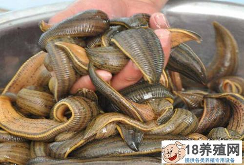 水蛭养殖效益高 活体水蛭每斤能卖70元