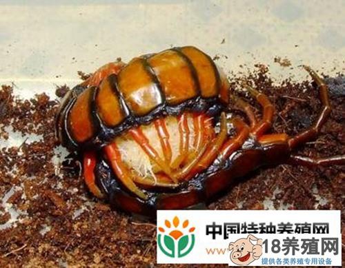 蜈蚣孵化期的管理技术要点