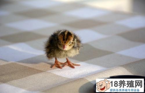 鹌鹑蛋怎么孵化(2)