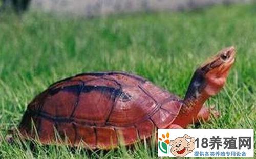 金钱龟的养殖方法