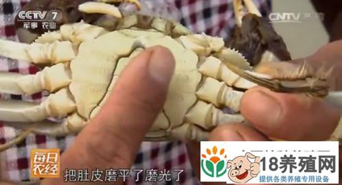 工厂化高密度养殖软壳蟹 养在盒子里大闸蟹好赚钱