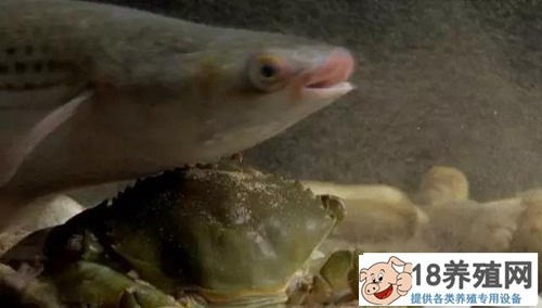 共享池塘 小贝不再怕大蟹