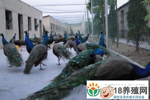 孔雀养殖:孔雀养殖场地的基本要求(2)