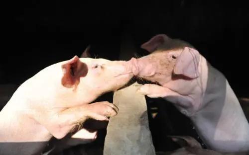 猪口蹄疫的免疫和疫苗应用(一)