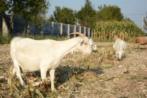 如何做好养羊的卫生工作?注意这些细节很重要