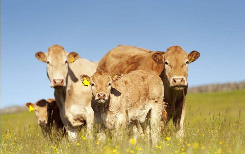 肉牛太瘦怎么办?肉牛消瘦的原因及预防方法探讨