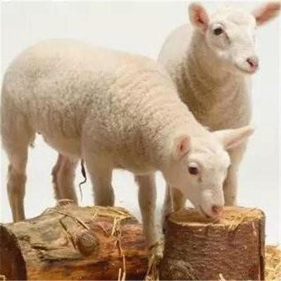 我国南方肉羊养殖存在的问题及对策