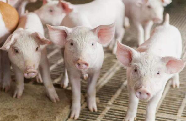 北京:今年将新建12个农场,以加快恢复生猪生产
