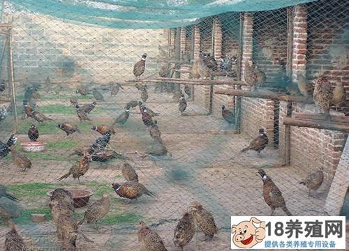 山鸡养殖中应用的中草药
