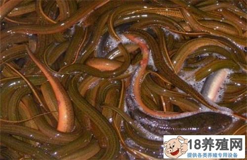 2019养鳝鱼(黄鳝)赚钱吗?鳝鱼养殖利润成本及市场前景分析