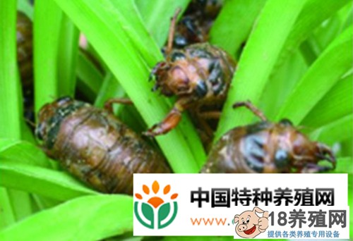 蝉的人工养殖技术