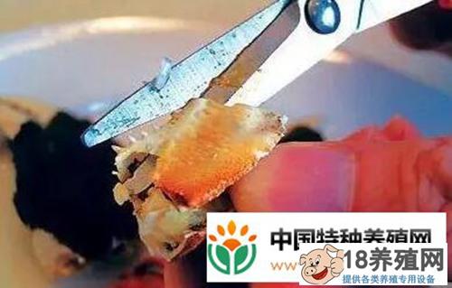 大闸蟹究竟怎么吃才正确(图解)?(2)