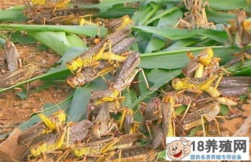 养殖蚂蚱准备和管理技术