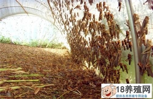 养殖蚂蚱准备和管理技术(2)