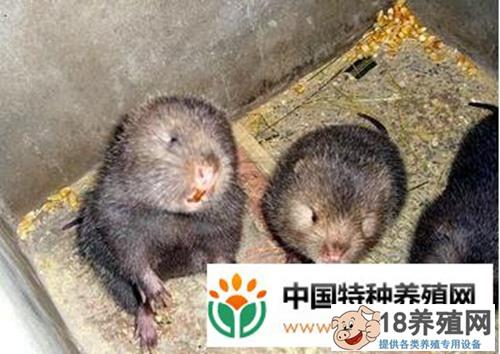 竹鼠养殖经验谈,怎样养竹鼠省心又省钱
