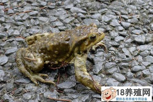 蟾蜍的毒性能毒死人吗(2)