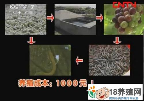 葡萄架下养黄鳝生态又高效