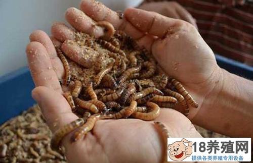 养殖黄粉虫的条件有哪些?