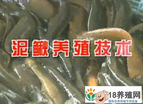 农广天地 泥鳅养殖技术视频